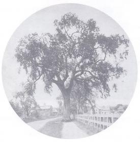 Whitefield Elm