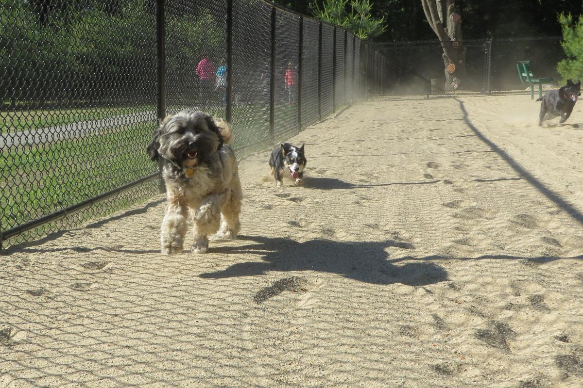 Dogs running through the dog park